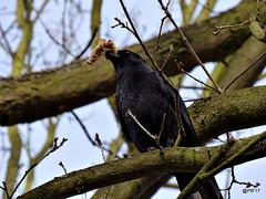 Take-Away.            Carrion Crow. (postman.pete) Tags: hwcp lumi crow tom takeaway carrion lumix