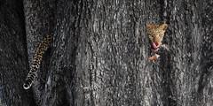 cute and still impressive (Jose Antonio Pascoalinho) Tags: africa botswana moremi okavango leopard nature nat wildlife wilderness kill predator feline feeding prey animals wild bornfree bornwild capture safari safariphotography world moments composition outdoor travel bigfive bigcat biodiversity biosphere fauna zedith