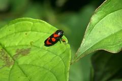 Cercopis vulnerata, the froghopper. (chug14) Tags: animalia arthropoda hexapoda insecta neoptera hemiptera hémiptères cercopidae cercopidés froghopper cercopisvulnerata