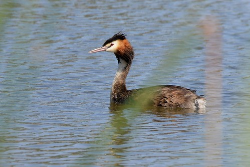 Great Crested Grebe_2661E