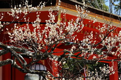 Small spring (Teruhide Tomori) Tags: flower spring kyoto japon japan shrine plum ume tree kitanotenmangushrine 京都 春 梅 花 日本 北野天満宮