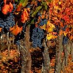 Weinreben in Mendoza, Argentinien