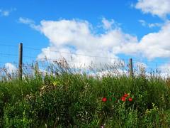 Happy Fence Friday! (peggyhr) Tags: blue red sky white canada green clouds fence grey purple alberta poppies grasses hff dsc06876 peggyhr bluebirdestates level1photographyforrecreation redlevelno1 musictomyeyes~l1