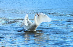 Mute Swan on Yeadon Tarn (jdathebowler Thanks for 4.5 Million + views.) Tags: swan muteswan yeadontarn cygnusolor thebeautyofnature