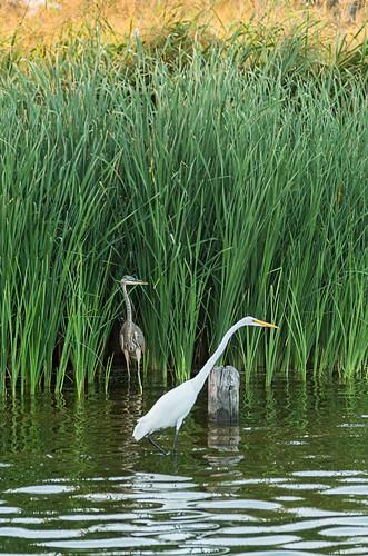 Cranes in the marsh