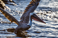 Backlit pelican - Galapagos-20140714-1839-BK2W7336-Edit (Swaranjeet) Tags: pelican pelicans galapagos ecuador bird largebirds july2014 canon fullframe 1dx eos1dx dslr sjs swaran swaranjeet swaranjeetsingh sjsvision sjsphotography swaranjeetphotography 2014 eos canoneos1dx 35mm ef pro 200400 canonef200400mm canonef200400mmf4lisusm14x singh photographer thane mumbai india indian