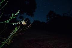 Mariposa nocturna (Hachimaki123) Tags: animal butterfly insect stars star estrellas mariposa estrella insecto