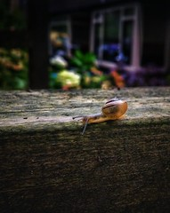 Tiny snail (MelisaTG) Tags: summer leaves outdoors thenetherlands streetphotography insects urbannature hilversum closeupphotography mobilephotography smartphonephotography snapseed