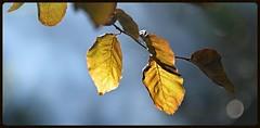 DSC_8799 Contre Jour (mike193823319483) Tags: autumn contrejour beechleaf