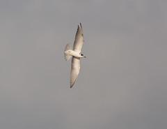 Black Tern (Severnrover) Tags: black flying underside tern
