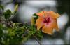(Rob Millenaar) Tags: flower hawaii bokeh bigisland hybiscus