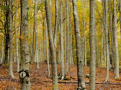 Pratomagno - 2 (anto_gal) Tags: alberi firenze toscana autunno montagna bosco casentino arezzo pratomagno valdarno 2015 lorociuffenna