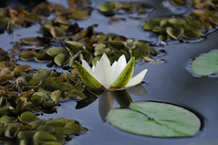 Tropical Waterlily (Todd Boland) Tags: flowers brazil waterlily pantanal