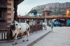 Jodhpur (dazftw | www.darrencarlinphoto.com) Tags: poverty india colour field bicycle portraits river children religious temple 1 golden xpro fuji cows gang trains swing camel varanasi rickshaw mumbai tuk depth amritsar bikaner jaisalmer jodhpur ganges mcleod fujixf23mm