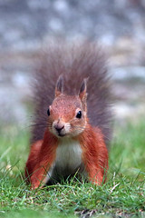 red squirrel (Explore) (DODO 1959) Tags: nature animal canon mammal outdoor wildlife redsquirrel brownseaisland 7dmk2 500mmf4isllens