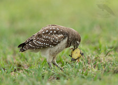 Owl with turtle (MyFWC Research) Tags: bird florida wildlife conservation research owl avian burrowingowl fwc myfwc myfwccom