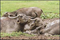 Water Buffalo (John R Chandler) Tags: srilanka waterbuffalo bubalusbubalis udawalawenationalpark