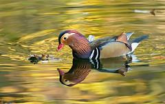 Nel lago dorato (marypink) Tags: autumn lake bird reflections lago autunno riflessi specchio uccello aixgalericulata anatramandarina famigliaanatidi ordineanseriformi nikkor80400mmf4556 nikond7200
