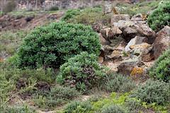 IMG_5968 Kleinia neriifolia (Raiwen) Tags: españa spain flora fuerteventura vegetation endemic canaryislands asteraceae islascanarias verode asterales kleinia senecioneae asteroideae kleinianeriifolia berode parquenaturaldelasdunasdecorralejo seneciokleinii