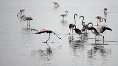 IMGP3507 (Axel12p) Tags: flamingos θεσσαλονίκη kaloxori kalochori καλοχώρι