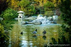 Duck, Duck, Fish (frank.highlander) Tags: ca usa water garden duck pond sanjose koi serene japanesefriendshipgarden