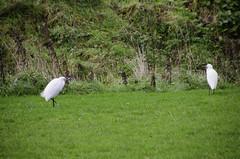 Egrets - DSC_0209 (John Hickey - fotosbyjohnh) Tags: ireland dublin bird nature field birds outdoor grassland egrets publicpark publicplace cabinteely largebird cabinteelypark publicamenity