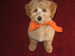 scoobys-1st-visit-to-groomer--scooby-is-one-of-kenzie-and-chewys-f1b-puppies-_4097633643_o