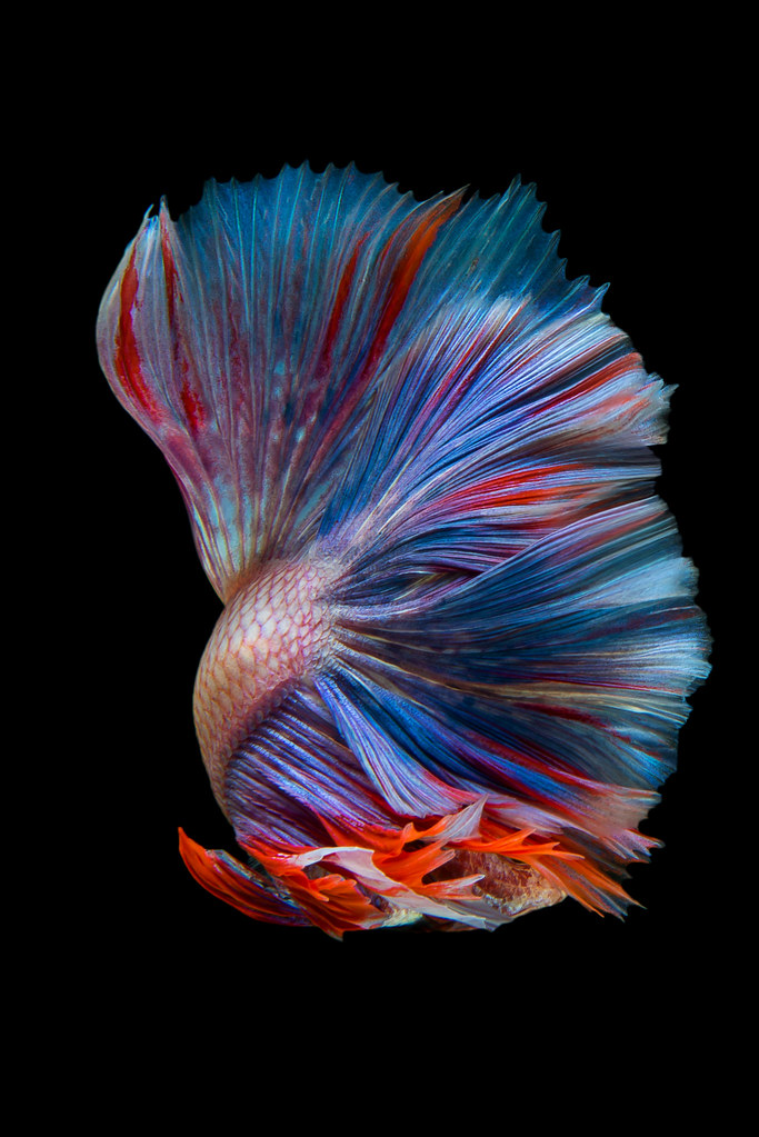 The world 39 s most recently posted photos of pace and pet for Pet betta fish