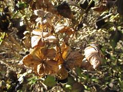 Flowers #525 (tt64jp) Tags: 植物 japan japanese 日本 nature plants 自然 森 forest plant flora fall アジサイ 紫陽花 あじさい hydrangea 冬 winter 枯れ花 枯花 deadflower 花 はな ハナ