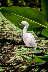 Hanging Out (cd32919) Tags: egret bird avian palm frond pond nature white