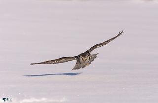 ''Mon ombre!'' Chouette épervière/Northerm hawk owl