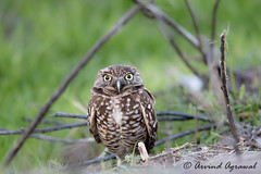 Burrowing Owl - IMG_4444 (arvind agrawal) Tags: burrowingowl owl wildlife bird canon600 canon1dx