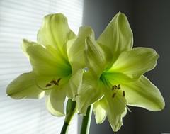 Hippeastrum Lemon Sorbet (Kniphofia) Tags: hippeastrum amaryllis lemonsorbet bulb flowers