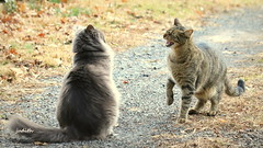 """""""Back OFF Jack!"""" (judecat ( settling in for the winter)) Tags: felines longhairedgreycat browntabby attitude hissing ozzie vinny"""