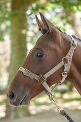 Wemmel : Jaarmarkt, championship for horses#7 (foto_morgana) Tags: animals belgie belgique belgium cheval headshot horse jaarmarkt2016 mammalia mammals mammifères outdoor paard säugetiere wemmel zoogdieren