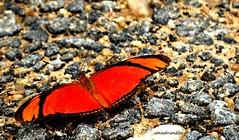 Borboleta  nas pedras (Sophie Carrière) Tags: borboleta pedra inseto natureza