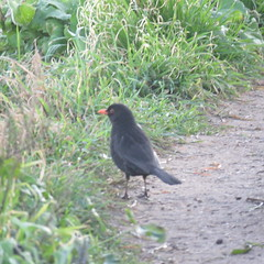 Mirlito (jesust793) Tags: pájaros birds naturaleza nature