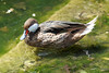 red billed teal Duck (Franck Zumella) Tags: duck red canard bec rouge water eau