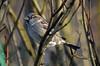 Thésée-la-Romaine(Loir-et-Cher) (sybarite48) Tags: théséelaromaine loietcher france oiseau bird vogel طائر 禽流 pájaro πουλί uccello 鳥 ptak pássaro птица kuş moineaudomestiquefemelle