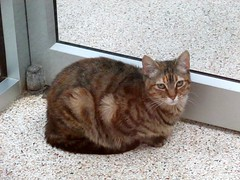 Adoptable (dog.happy.art) Tags: cat tabby striped brown adoptable pet humanesociety shelter