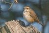 Ruiseñor Pechiazul (ik_kil) Tags: ruiseñorpechiazul bluethroat lusciniasvecica keoladeonationalpark rajasthán birdsofindia birds ruiseñor keoladeo india