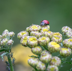 Lonely Lady. (Omygodtom) Tags: selectivefocus bug insect ladybug flower flickr macro tamron tamron90mm d7100 natural outdoors scene yellow red