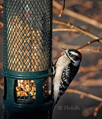 January 17, 2017 - A Woodpecker gets a snack at a Thornton feeder. (Michelle Jones)