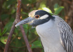 Yellow-Crowned Night-Heron Portrait (Explored) (rreaderlee) Tags: heron yellow florida nature