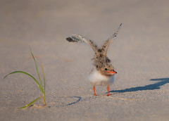 Gonna Fly Now (Kathy Macpherson Baca) Tags: animal animals bird birds tern beach nature chick young dunes fly baby colony wildlife world earth planet sand ave aves fish ocean bay inlets feathers downy migrate