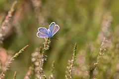 summer (Bea Antoni) Tags: tamron canon closeup nahaufnahme makro macro heide natur nature schmetterling butterfly sommer summer