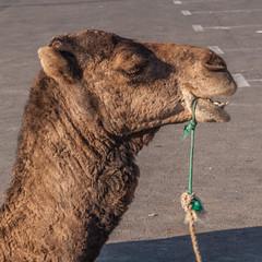 camel (Jan Herremans) Tags: janherremans morocco agadir camel