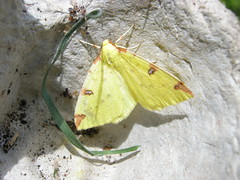 BRIMSTONE MOTH DSCN0505 (Coventry City Council) Tags: coombecountrypark coombeabbey coventry