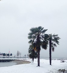 Palmeras en la Nieve (Marcia Portess-Thanks for a million+ views.) Tags: palmerasenlanieve westend englishbay west view nieve snow canadá vancouver sunsetbeach arboles trees palmtrees palmeras map marciaportess marciaaportess