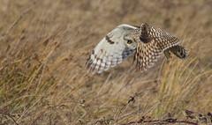 Short Eared Owl (cogs2011) Tags: owl short eared flying eye yellow wings best great bird